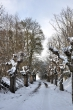 Küssaburgkastanien im Schnee