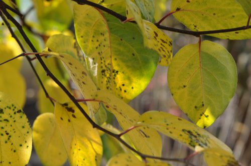 Der Quittenbaum treibt im Frühjahr recht früh seine saftig dunkelgrünen Blätter aus und hält sie meist noch bis in den Dezember. Somit ist er ein Stück Sommerzeit im Garten.
