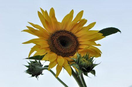 Sonnenblume vor Kristallhimmel - so soll es im August auch sein! :-) (Foto: Martin Dühning)