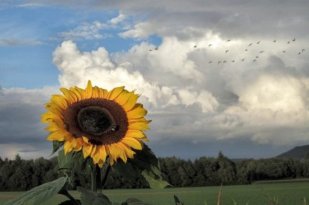 Sonnenblume mit Regenbogen und Fernweh: Links der Regenbogen, rechts vor den Gewitterwolken Nils Holgersons Wildgänse (Foto: Martin Dühning)