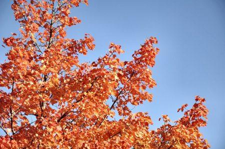 Indianersommer im Klettgau 2011: Die Temperaturen sind nachts bereits im Sturzflug, tagsüber kommt manchmal aber noch die Sonne heraus am kristallblauen Herbsthimmel und die Blätter brennen in Rot, Orange und Gelb. (Foto: Martin Dühning)