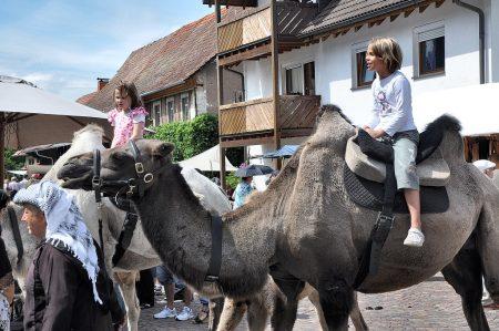 Kamele im Dauerbetrieb beim Lauchringer Mittelalterfest am 5. August 2012 (Foto: Martin Dühning)