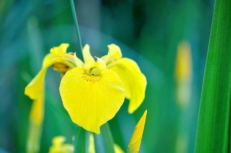 Hübsche, verwilderte Iris bewohnen alten und neuen Gartenteich und blühen zitronig-gelb.