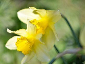 Ein Liebespärchen aus zitronengelben Narzissen - fotografiert im heimatlichen Garten am 15. April (Foto: Martin Dühning).