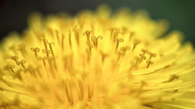 Wie bei einer Sonneneruption explodieren bei der goldenen Löwenzahnblüte Farben und Pollen.
