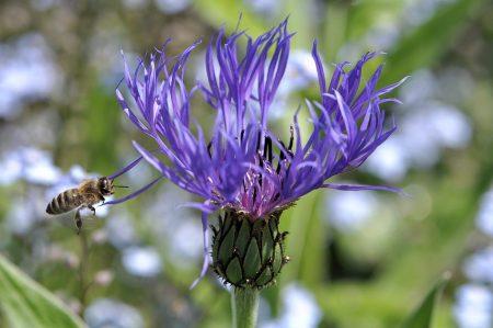 ... auch Honigbienchen wurden erstmals wieder in größerer Zahl gesichtet, wenn sie z. B. wie hier prächtige blaue Kornblumen anfliegen.