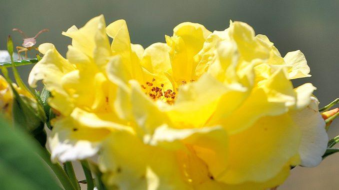 Sonnengoldig blühen die Rosen am neuen Gartenteich - und können sich auch über Besucher freuen.
