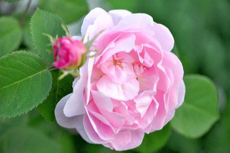 """""""Die Ros ist ohn warumb, sie blühet, weil sie blühet..."""", dichtete einst der Barockdichter Silesius. So ganz hat er aber nicht recht - denn sie wurde durchaus sinnvoll erschaffen."""