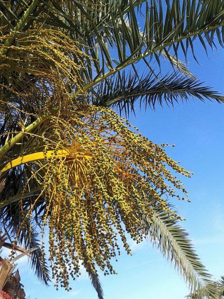 Phoenix dactylifera, die Dattelpalme, Symbol der 'Fruchtbringenden Gesellschaft' um Georg Philipp Harrsdörfer und seiner Dichterfreunde, gewählt, weil die Pflanze in jedem ihrer Teile nutzbringend verwendbar ist und vielleicht auch, weil sie den Phoenix im Namen trägt, das alte christliche Symbol für Auferstehung...