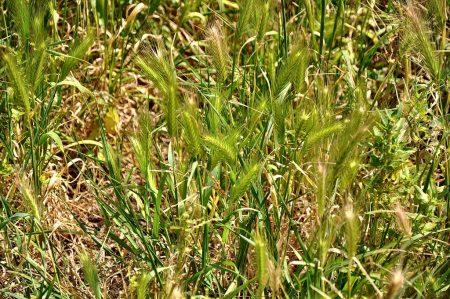 Wildes Getreide in den Ruinenfeldern (Foto: Martin Dühning)