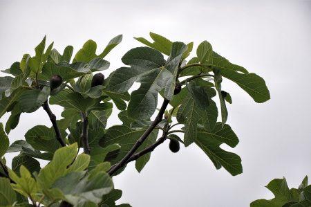 Zweige eines Feigenbaumes (Foto: Martin Dühning)