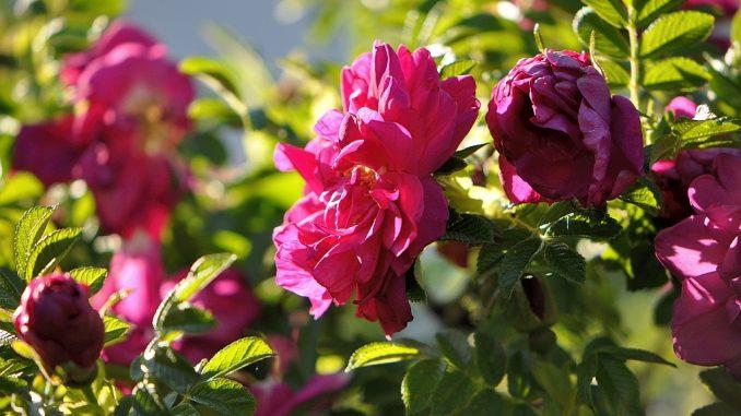 Duftend und rosenrot glänzen die Heckenrosen im Abendlicht. (Foto: Martin Dühning)