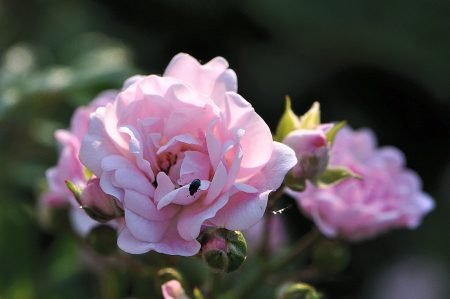 Juni ist auch der Monat, in dem die Rosen (noch) in voller Blüte stehen (Foto: Martin Dühning).