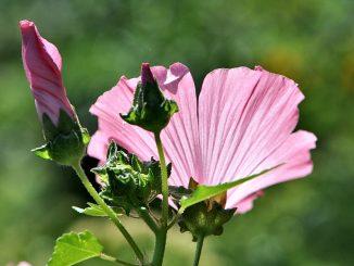 Sommerlich sanft mutet dagegen die Malvenblüte im Sonnenschein an. (Foto: Martin Dühning)