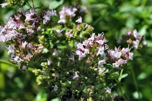 Der Oregano steht noch in voller Blüte, genau wie die Minze - bei den Kräutern herrscht noch Sommer. (Foto: Martin Dühning)