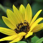Die meisten Sonnenblumen im Garten sind bereits verblüht - es gibt aber noch vereinzelt ein paar kleine Nachzügler. (Foto: Martin Dühning)