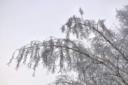Der Nachtfrost hat die Zweige dieser Birke mit Reif verzuckert. (Foto: Martin Dühning)