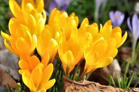 Wie Flammen leuchten goldene Krokusse im Garten (Foto: Martin Dühning).