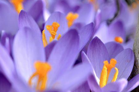 Die Farben kehren in die Welt zurück: goldene und violette Krokusse eröffnen den Frühlingsfarbentanz (Foto: Martin Dühning).