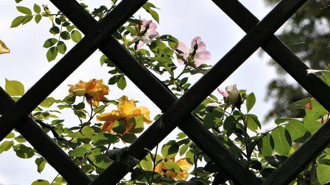Spalier mit gelben und rosa Rosen (Foto: Martin Dühning)