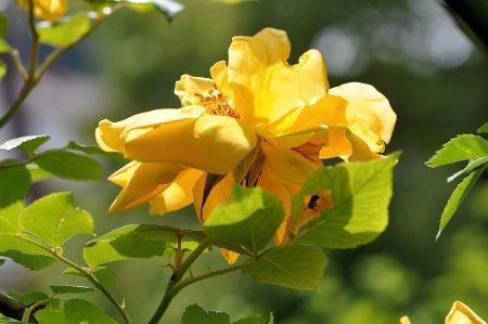 Junizeit ist Rosenzeit und diese blühen im heimischen Garten in sonnigen Farben (Foto: Martin Dühning)