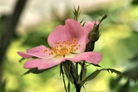 Auch verwilderte Rosen ermöglichen rosige Ansichten (Foto: Martin Dühning).