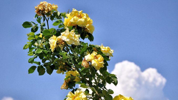 Sonnengoldige Rosen türmen sich fast wie Junigewitterwolken in den Himmel (Foto: Martin Dühning).