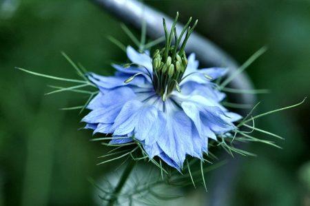 Blau strahlt eine nicht ganz definierbare Nelken- oder Schwarzkümmelpflanze (Foto: Martin Dühning).