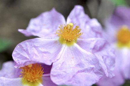 Zistrosen sind zwar keine Rosen, sondern ein Heilkraut, aber rosig sehen sie trotzdem aus (Foto: Martin Dühning).