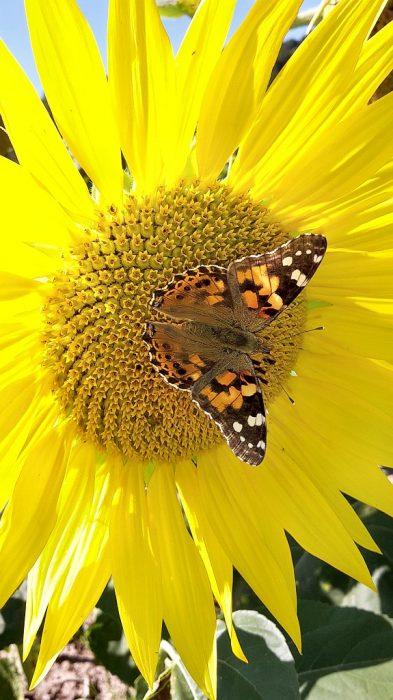 Schmetterling auf Sonnenblume 2015 (Foto: Martin Dühning)