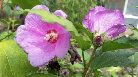 Einige Hibiskusblüten haben die große Trockenheit im Sommer 2015 überstanden (Foto: Martin Dühning).