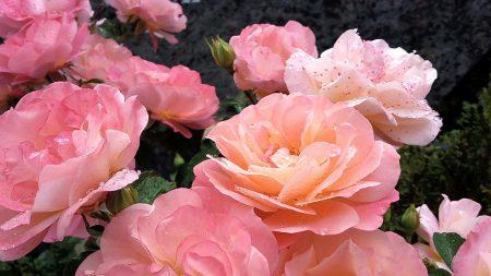Allein die Rosen auf dem Friedhof haben die große Hitze 2015 fast schadlos überstanden. (Foto: Martin Dühning)