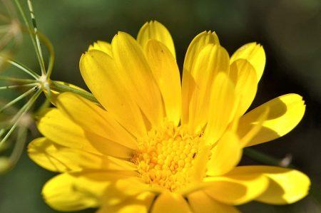 Ringelblümchen mit Dillrispen - beide haben die Trockenheit überstanden (Foto: Martin Dühning)