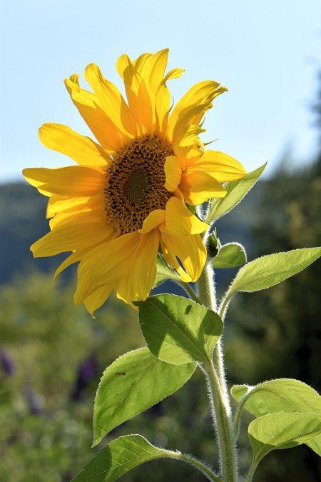 Eine Sonnenblume, sonst Kind des Sommers, beleuchtet den frühherbstlichen Garten (Foto: Martin Dühning)