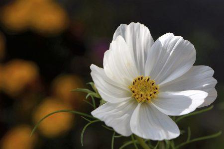 Es hat doch einige Mühe gekostet, die Cosmeen anzusiedeln, nun tragen sie aber endlich, endlich Blüten (Foto: Martin Dühning).
