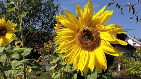 Nachklassischer Garten: Sonnenblumen vor dem alten Schopf und dem neuen Gartenteich (Foto: Martin Dühning)