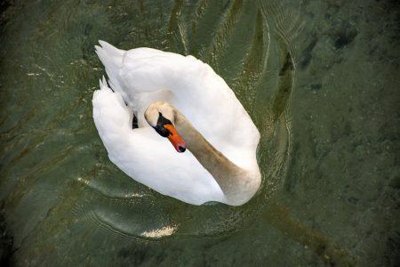 Neugieriger Schwan bei der Insel Werd (Foto: Martin Dühning)