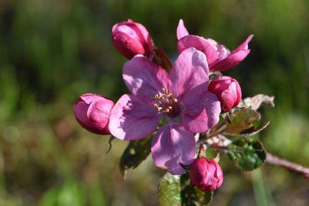 Blutrote Apfelblüte eines Blutapfelbaumes (Foto: Martin Dühning)