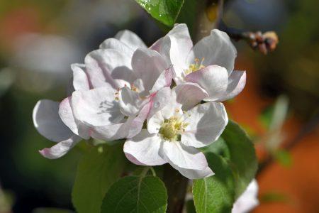 Apfelblüten im April/Mai 2016 (Foto: Martin Dühning)