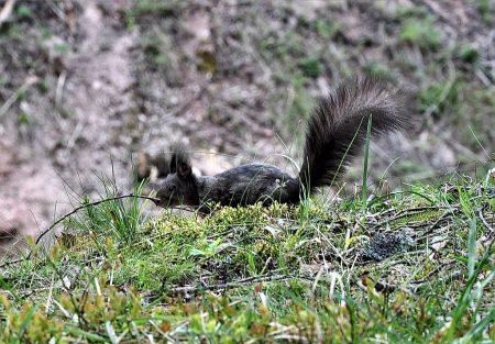 Eichhörnchen beim Schluchsee am 18. Mai 2016 (Foto: Salome Leinarkunion)