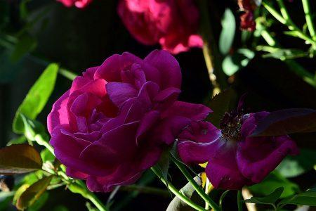 Großvaters Rosen blühen auch noch spät nach Mittsommer - dieses Jahr scheinbar ohne Pause. (Foto: Martin Dühning)