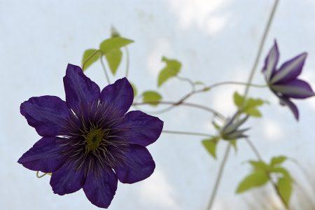 Seltene, violette Clemathisblüte - meist blüht nur einer der drei Stöcke, dieses Jahr könnten es alle sein, denn den Waldreben gefällt das Wetter. (Foto: Martin Dühning)
