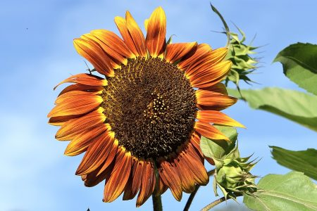 Die erste Sonnenblume der Saison blüht diesmal sogar schon Ende Juli 2016 (Foto: Martin Dühning)