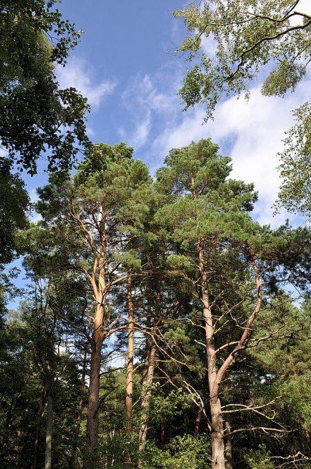 Bäume im Slowinzischen Nationalpark (Foto: Martin Dühning)