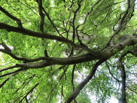 Baumkrone im Schlosspark Oliva (Foto: Salome Leinarkunion)