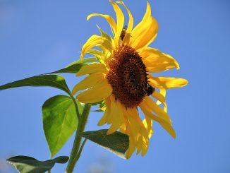 Sonnenblume Ende August 2016 (Foto: Martin Dühning)