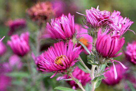 Astern blühen im Niarts-Garten (Foto: Martin Dühning)