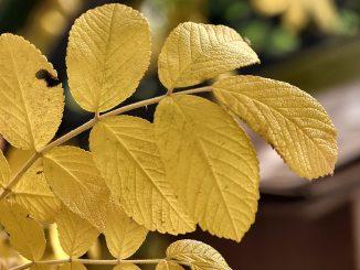 Goldene Heckenrosenblätter kündigen die kalte Jahreszeit an (Foto: Martin Dühning)