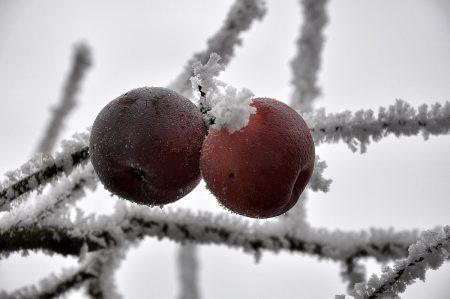 Zeitgefrostete Dezemberäpfelchen (Foto: Salome Leinarkunion)