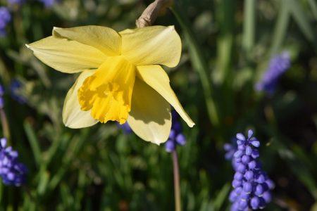 Eine gelbe Narzisse mit verwilderten Hyazinthen aus alter Zeit (Foto: Martin Dühning)